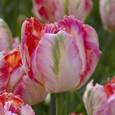 10 Tulip Bulbs,Parrot Apricot  (Bulbs),12/+cm, Big Blooms Excellent for Bouquets