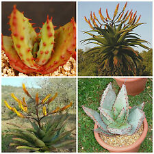 10 seeds of Aloe spectabilis, succulents, cacti, succulents seed R