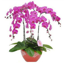 FD1210 Phalaenopsis Bonsai Adorable Butterfly Orchid Flower Seeds ~10PCs Seeds~