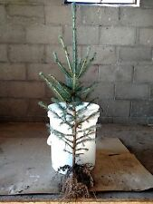 """10 WHITE SPRUCE TREES 24""""-30""""   GROWER DIRECT!    EXCELLENT PRIVACY!"""