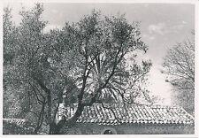 ÎLE DE MAJORQUE c. 1935 - Oliviers à Sóller  Espagne - P 531