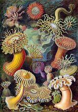 71 Ernst Haeckel Art Prints in High Resolution