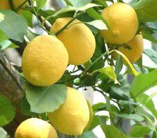 Huile Essentielle de CITRON 10ml (citrus limonum) Italie pure 100% naturelle