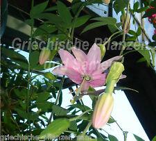Passiflora Mollissima 6 graines frais Fruit de la passion-banane DÉLICIEUX