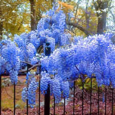 5 Blue Japanese Wisteria Seeds Landscaping Flower Pot Friendly Garden Plant