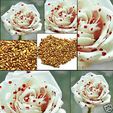 15 Seeds Rare White Drop Blood Rose Seeds Home Garden Flower Plant Seed Hot
