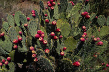 558094 Fruited Prickly Pear Cactus Sonoran Desert Arizona A4 Photo Print