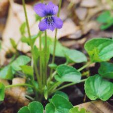 Marsh Blue Violet .... 30 Seeds