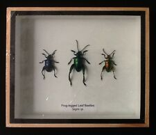 3 frog-legged leaf beetles sagra femorata beetle taxidermy insect entomology