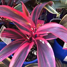 PINK CHAMPION Cordyline tropical colourful foliage plant in 125mm pot