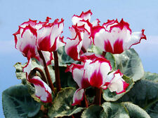 Edge Cyclamen Flower Seeds Flowering Plants cyclamen  DIY Home Garden 100 PCS