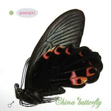 5 butterfly unmounted Papilio protenor euprotenor GUANGXI SPRING FORM A1 A1-