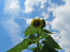 Sunflower Seed: Skyscraper Sunflower Seeds 25+ Seeds  Fresh Seed  FREE Shipping