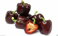 50 Mini Chocolate Bell Pepper Seed - Capsicum annuum - Excellent for container