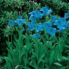 50 Seeds Blue Himalayan Poppy Seeds FLOWER SEEDS