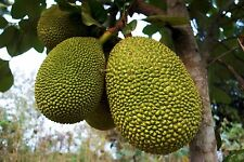Jackfruit Plant Tropical Fruit Trees (black gold)