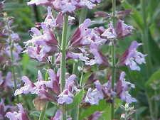 100+ Samen Salvia officinalis - Echter Salbei