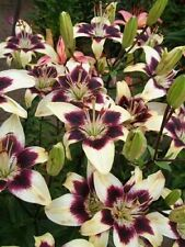5 NEPAL LILY Green & Maroon Lilium Nepalense Fragrant Flower Seeds *CombinedShip