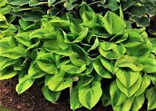 hosta Velvet Moon (M) 2 yr plant