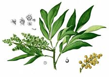 5  Semillas del Arbol de Nueces de Lavar  (Sapindus Saponaria)  seeds, llavors