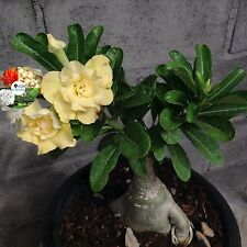 "Adenium Obesum Desert Rose Impala Lily ""Gold Snow"" Yello Flower Plants Fresh"