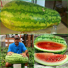 SEEDS – Giant Congo Watermelon Weighing as much as 30 lbs! Easy Grow!
