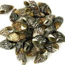 25 x  Drilled Nassa Craft Shells  Seashells for Craft & Beads jewellery SH10