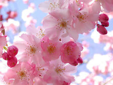 Heirloom 25 Flower Seeds Cherry Tree Shrub Seeds cherry-tree Edible Fruit