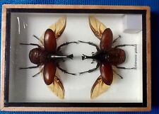 2 FIGHTING SCARAB BEETLES XYLOTRUPES GIDEON TAXIDERMY  BEETLE INSECT ENTOMOLOGY