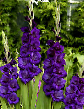 30 Gladiolus Purple Color Flower Bulb Perennial Summer Blooming Plant