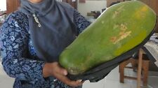 Very rare seeds * Giant African Green Semi-Dwarf Papaya * 7 fresh seeds *