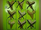 """Fossil Shark Tooth D Pick the one you want 1 3/4"""" - 2"""" Otodus Teeth Morocco"""