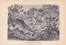 Termiten Termitenhügel Isoptera Holzstich von 1890 Afrika
