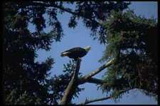 008031 Bald Eagle In Tree A4 Photo Print