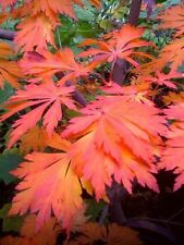 Bonsai Seeds - Full Moon Maple, Acer japonicum - Pack of 4 seeds
