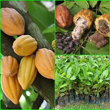 Cacoa  Theobroma cacao plant grafted tall 20'' Fruit plant From Thailand