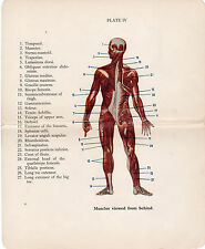 Old Print Muscles viewed from behind anatomy medical book plate early 1900s
