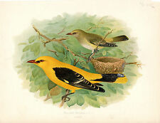 HENRIK GRONVOLD- A PAIR OF GOLDEN ORIOLES- ANTIQUE CHROMO LITHO  PLATE (c.1900)