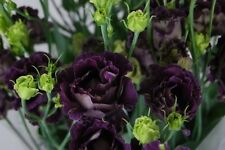20+ BLACK PEARL LISIANTHUS FLOWER SEEDS / EUSTOMA / ANNUAL /  GREAT CUT FLOWER