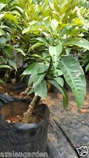 Bonsai All season  Sweet Mango Tree- 2 Live Plant -Bearing Fruits in All Seasons