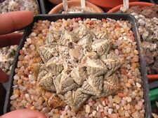 50 Ariocarpus fissuratus v fissuratus MV108 SEMI CACTUS SEEDS KORN rare no orbea