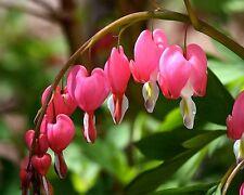 Tränendes Herz•5 Samen/seeds•Lamprocapnos (Dicentra) spectabilis•winterhart