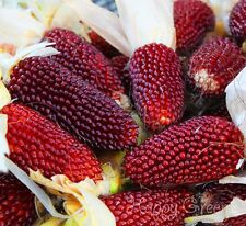 HEIRLOOM - 55 SEEDS - RED STRAWBERRY CORN  - Popping - Zea Japonica