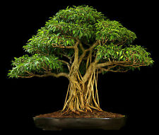 100 Graines Ficus religiosa - Figuier des Pagodes, Bodhi Tree Seeds