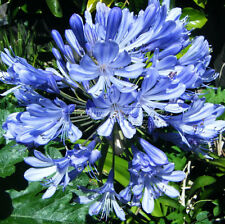 Big Promotion Free Shipping 20 BLUE AGAPANTHUS High germination Seeds TT386
