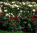 Rosen rot rosa Samen Blumen für den Balkon Garten die Geschenkidee das Geschenk