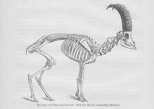 Alpensteinbock Skelett Gerippe Capra ibex Holzstich von 1891