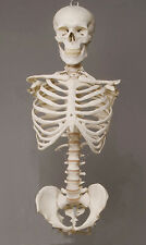 Harvey Skeleton Torso Halloween 2nd class Life-Size, w/ Skull, NEW