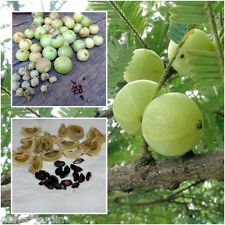 20 Graines Groseille Indienne (Phyllanthus) Amla Indian Gooseberry Seeds