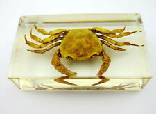 Real Crab Crustacean Insect Taxidermy Paperweight